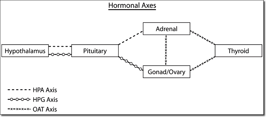 A chart showing how the hormaonal axes link to Adrenal Fatigue