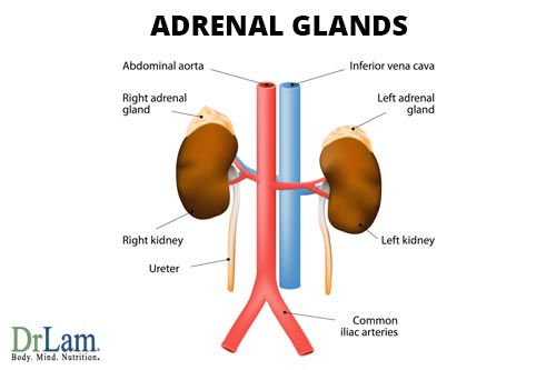 The adrenal glands are the main organ affected by adrenal fatigue