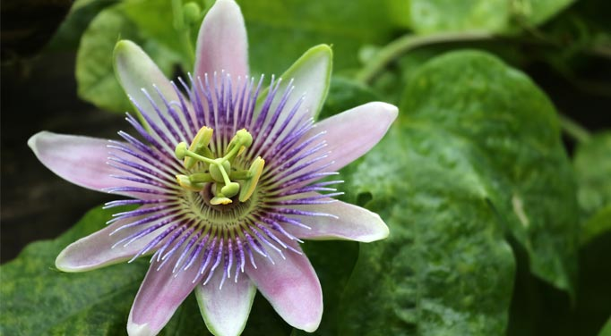 Passion Flower Extract is an important supplement to consider for Adrenal Fatigue Recovery
