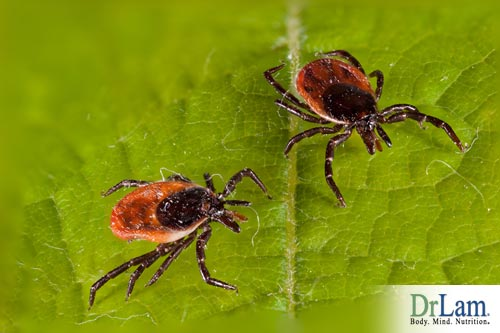 Tick bites can spread the Borrelia bacteria which can infect and cause chronic Lyme Disease symptoms